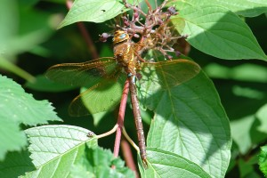 Brown Hawker 1