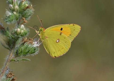 clouded-yellow
