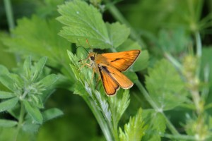 DSC_0024 small skipper