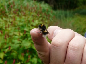 close up male bumblebee on finger v2