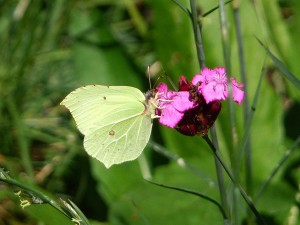 Brimstone on Pink