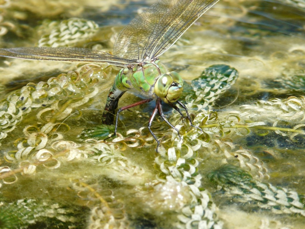 Female Emperor Dragonfly lays her eggs in the Dragon Pond at Knoll Gardens