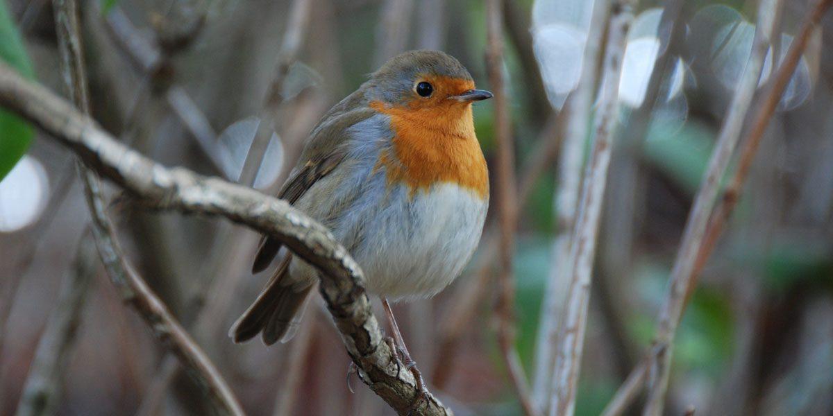 2018 Knoll Gardens – Garden Birdwatch
